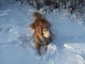 hovawart-i-sneen-kopi