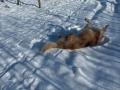 hovawart-i-sneen